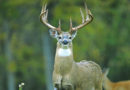 Busty 10-Point Buck Has Back Problems, Gets Antler Reduction Surgery