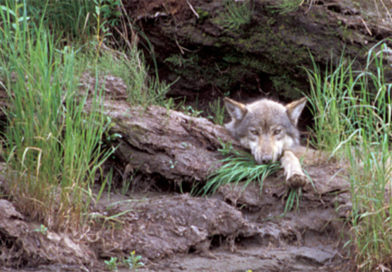 Surplus of Spring Admits to be Housed in Forested Wolf Dens